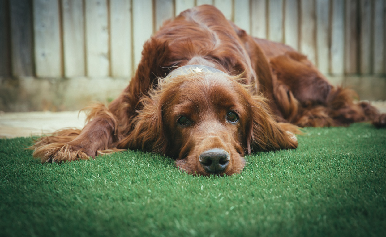 north vancouver pet-friendly artificial grass installer ace turf